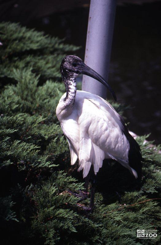 Ibis, Sacred Stading In Pine Bush