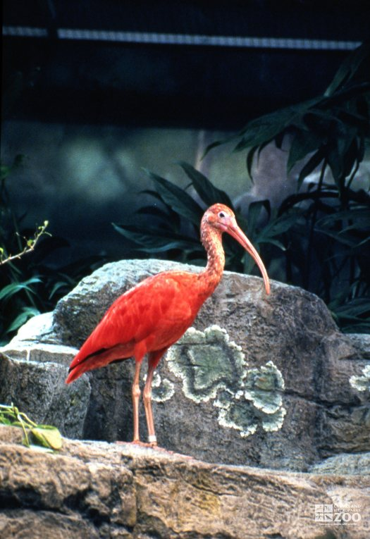 Ibis, Scarlet Standing On Rock