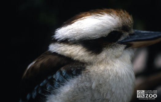 Kookaburra, Laughing Side View Of Head