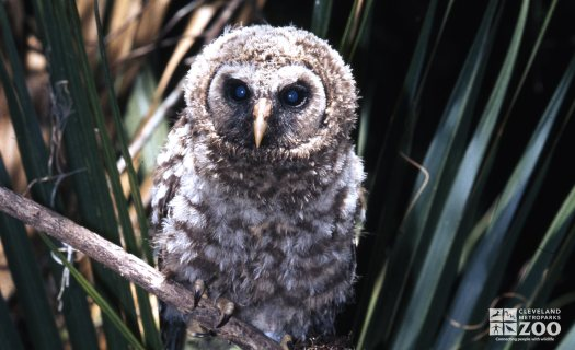 Barred Owl Sitting On Branch