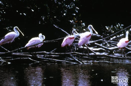 Spoonbill, Roseate A Bowl Birds