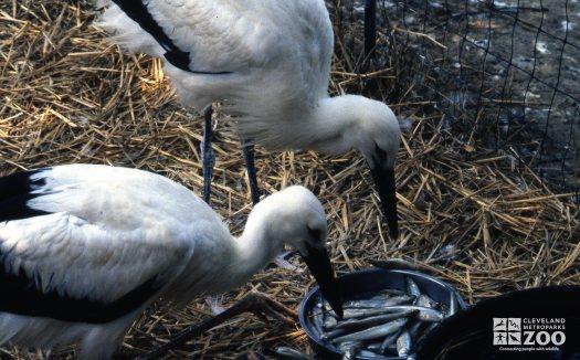 Stork, White Eating Fish