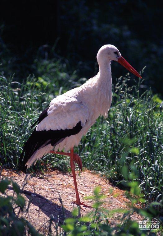Stork, White Standing On One Leg