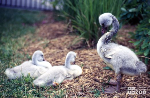 Swan,Trumpeter Juveniles 2