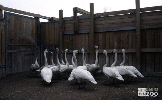 Swan,Trumpeter A Flock