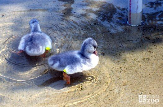 Swan,Trumpeter Juveniles In Water 2
