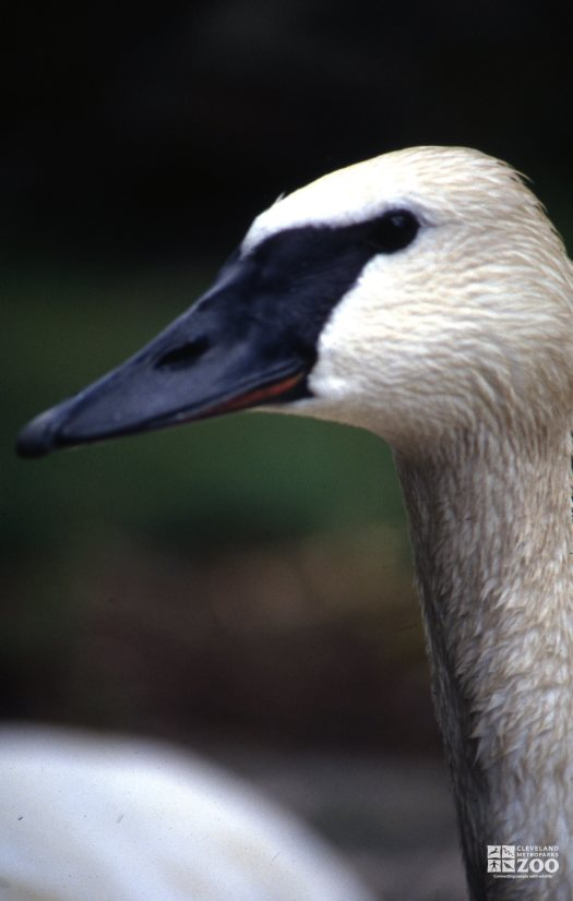 Swan,Trumpeter Side View Of Head