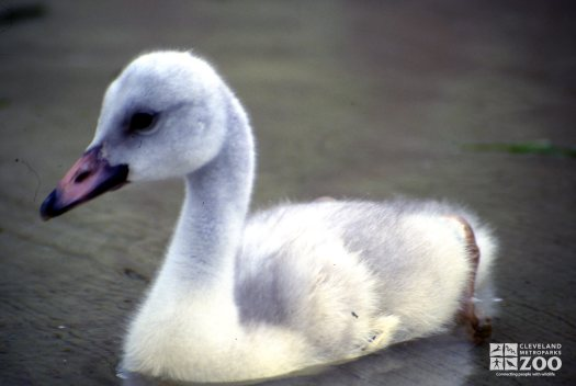 Swan,Trumpeter Having A Swim Up Close