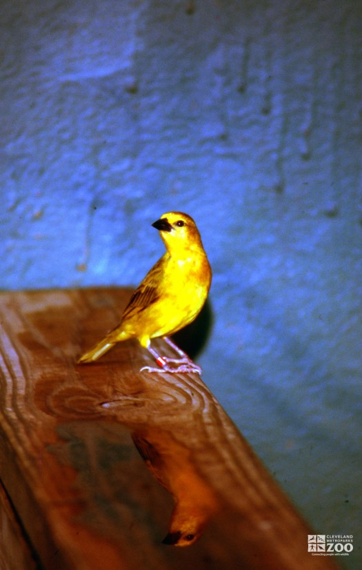 Weaver, Taveta Golden Looking To The Right