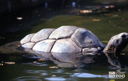 Tortoise, Aldabra Side View In Water