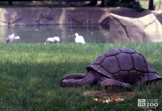 Tortoise, Aldabra Resting In The Grass