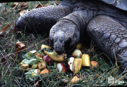 Tortoise, Aldabra Eating Fruit