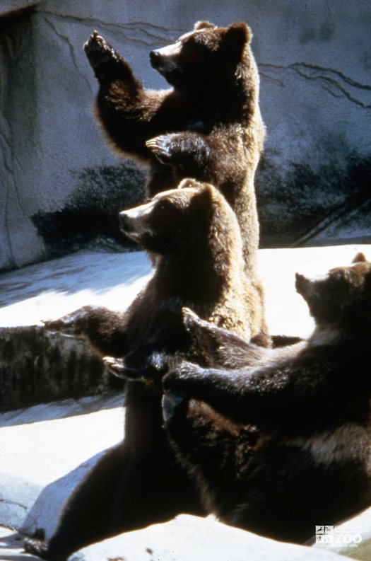 Three Grizzly Bears Sitting Up