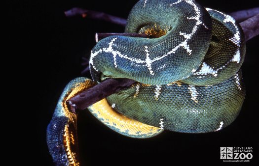 Emerald Green Tree Boa Wrapped Around Branch