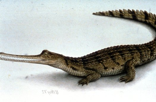 Gharial With Mouth Open and Side View