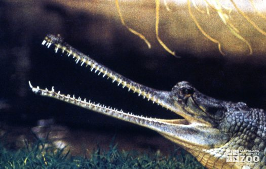 Gharial With Mouth Open Up Close