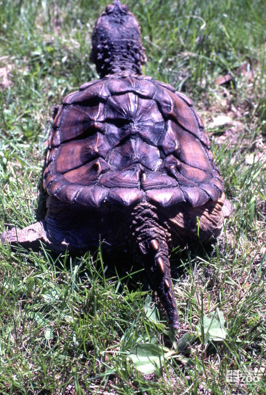 Common Snapping Turtle Sitting In the Grass