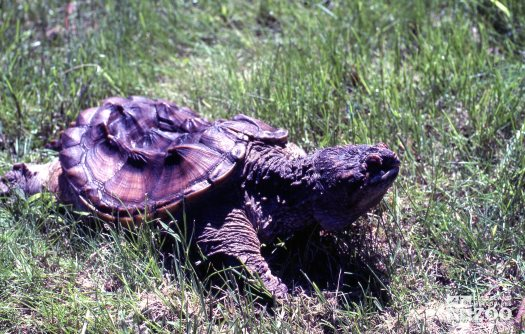 Common Snapping Turtle Side View