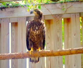 American Bald Eagle (E8) #16-361