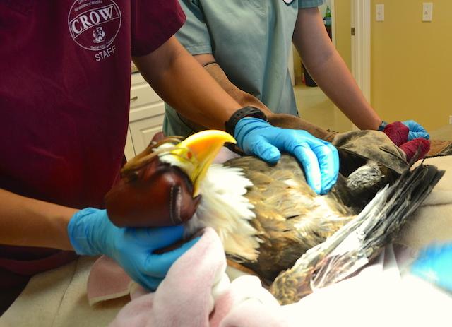 American Bald Eagle #16-3127