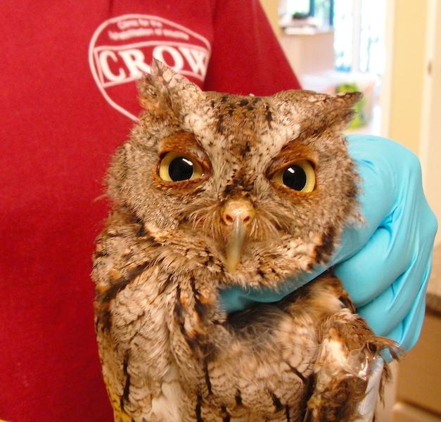 Eastern Screech Owl #16-3241