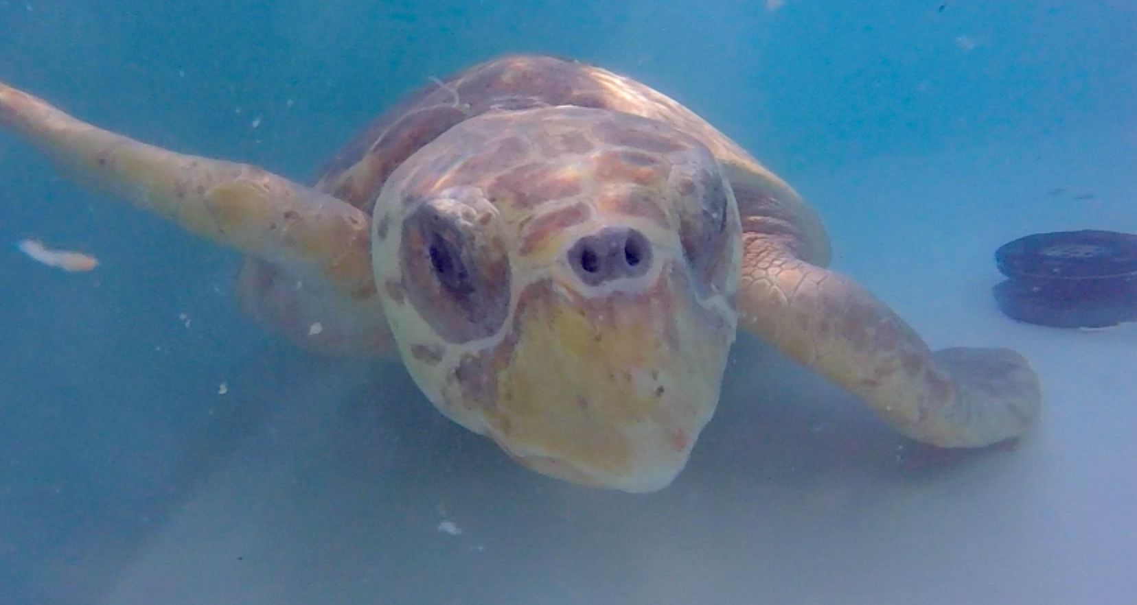 Loggerhead Sea Turtle #16-3477