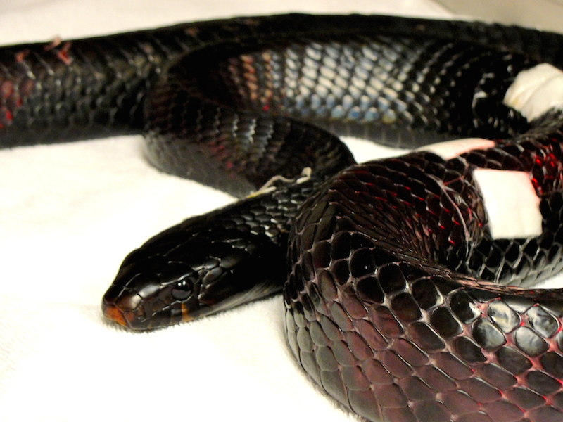 Eastern Indigo Snake #16-3659