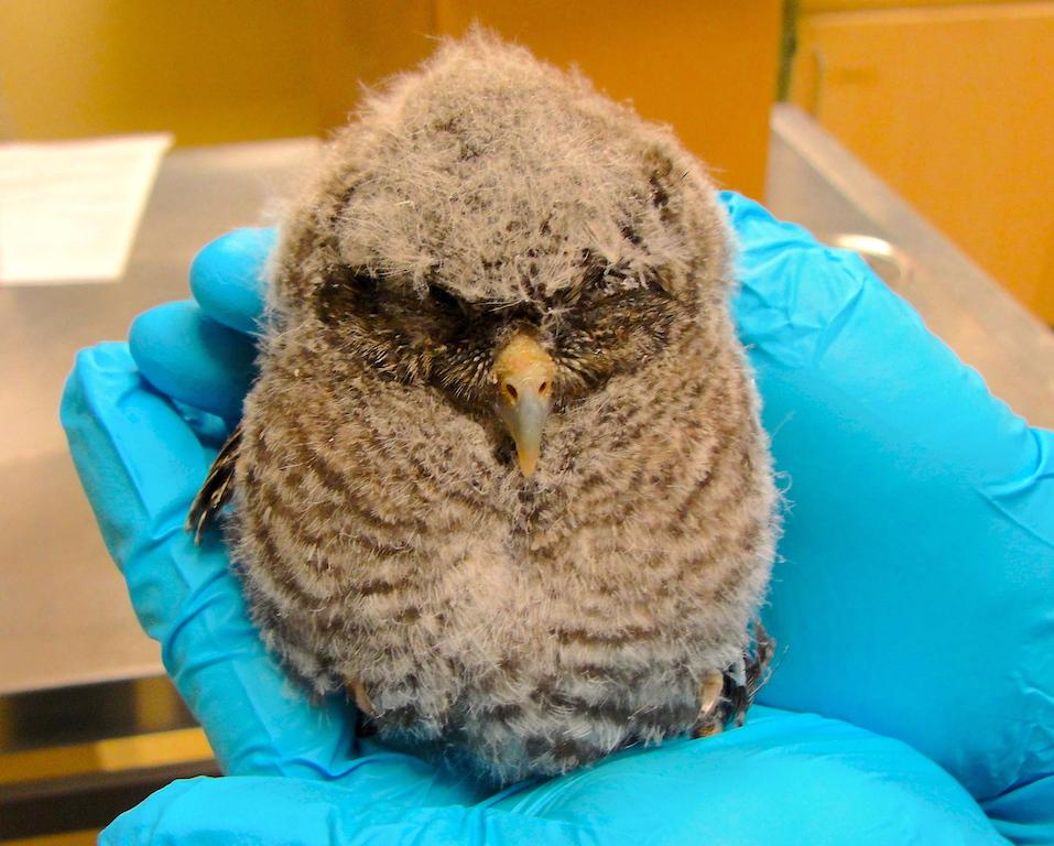 Eastern Screech Owl #17-101