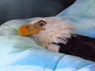 American Bald Eagle #17-3362