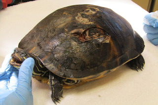 Red-bellied Cooter #18-0204
