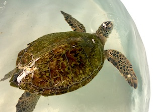 Green Sea Turtle #18-0371
