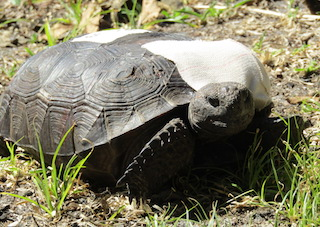 Patient Profiles: Gopher Tortoises