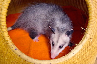 Patient Profiles: Virginia Opossums