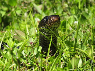 Species Profile: Snakes of Southwest Florida