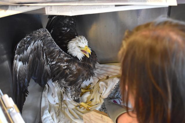 Bald Eagle #18-2760