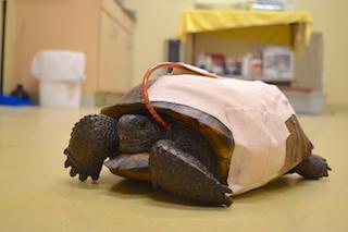Gopher Tortoise #18-2830