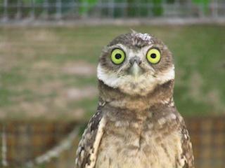 Patient Profiles: Owls of Southwest Florida
