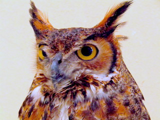 Patient Profiles: Owls of Southwest Florida