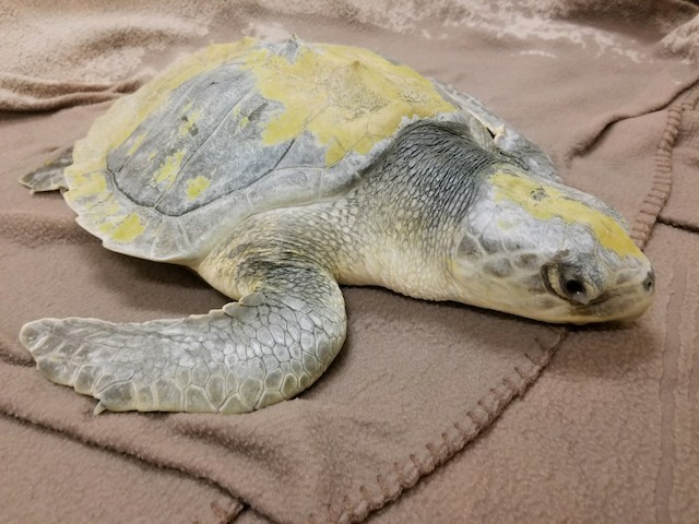 Kemp's Ridley Sea Turtle #18-3768