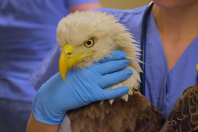 Bald Eagle #18-4339