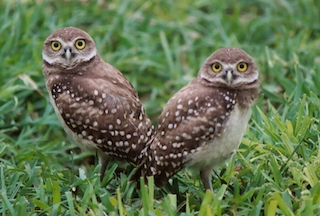 Speaker Series: Living with Burrowing Owls