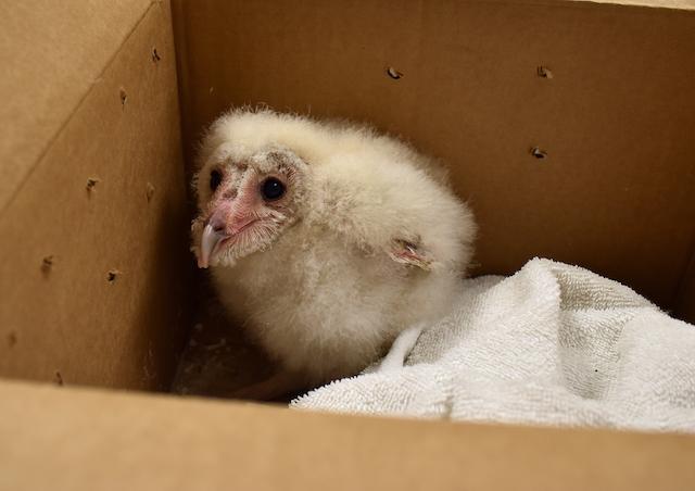 Barn Owl (#18-4423)