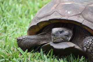 Patient Profiles: Gopher Tortoise