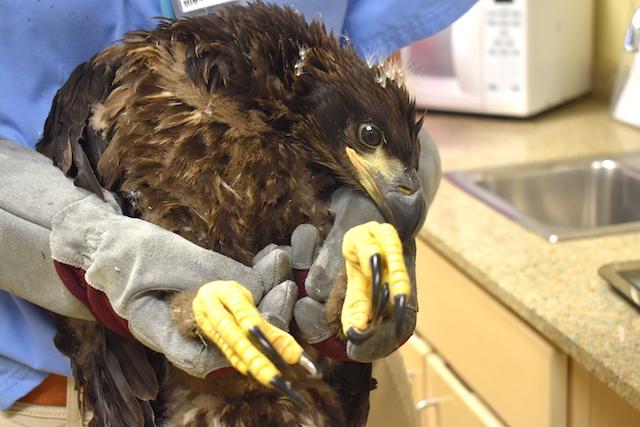 Bald Eagle #19-0519