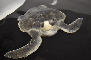 Patient Profiles: Sea Turtles