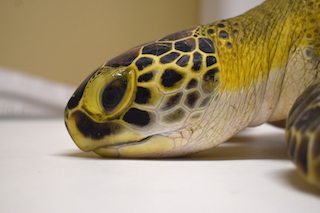 Green Sea Turtle #19-4213