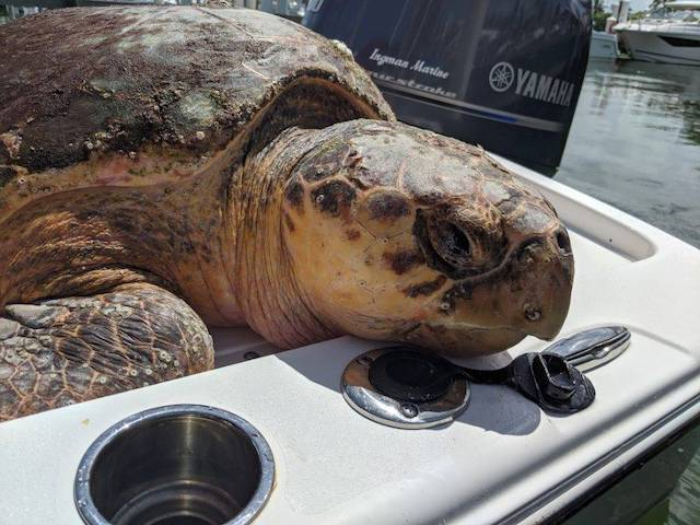 Loggerhead Sea Turtle #20-3287