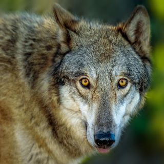 Speaker Series presented by LCEC: Shy Wolf Sanctuary