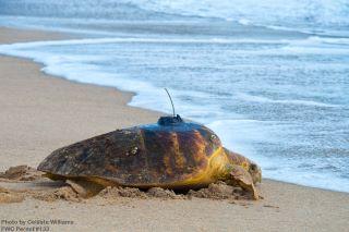 Speaker Series presented by LCEC: Tracking Loggerhead Sea Turtles