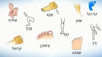 Части тела на иврите. Нога